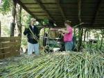 harvesting sorgum at sandhill