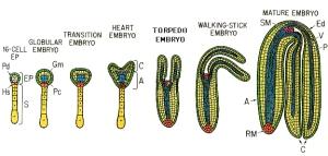plant_embryogenesis